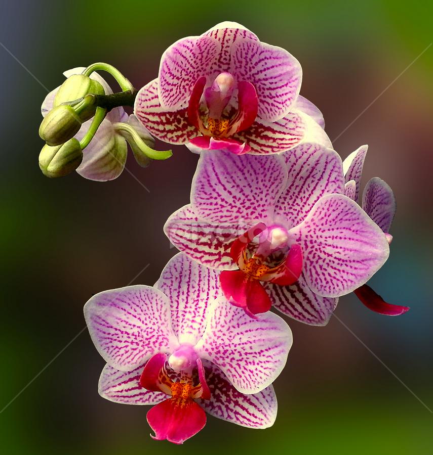by Biljana Nikolic - Flowers Flower Gardens ( , Flowers, Flower Arrangements )
