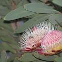 Sugarbush Protea
