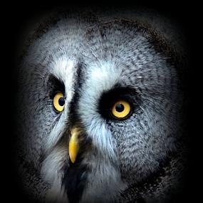 The Grey Owl by Chris Brian Hollingworth - Animals Birds