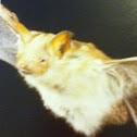Welwitsch's Hairy Bat