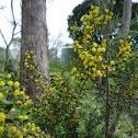 Gold Dust Wattle (Acacia acinacea)