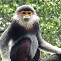 Douc Langur (Red Shanked)
