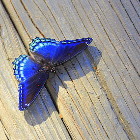 Butterflies of the world by Papri Mazumdar - Animals Other ( animal, butterfy )