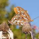 Gulf fritillary butterflies (mating pair)