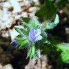 Small-flowered Bugloss