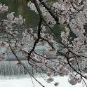 JapanArashiyamaSakuraPhotos01