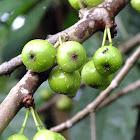 Common Yellow-stem fig