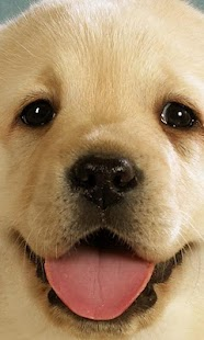 Labrador Wallpapers - screenshot thumbnail