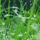 Plant Japanese Grass