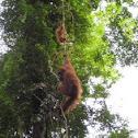 Sumatran Orangutan (Female & Young)