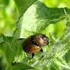 Dung Beetle ♂