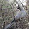 Grey Lourie aka Grey Go-away-bird