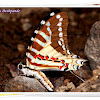Spot Swordtail Butterfly