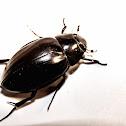 Great Silver Water Beetle