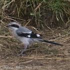 Southern Grey Shrike; Alcaudón Real