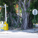Banyan Tree-- Florida Strangler Fig