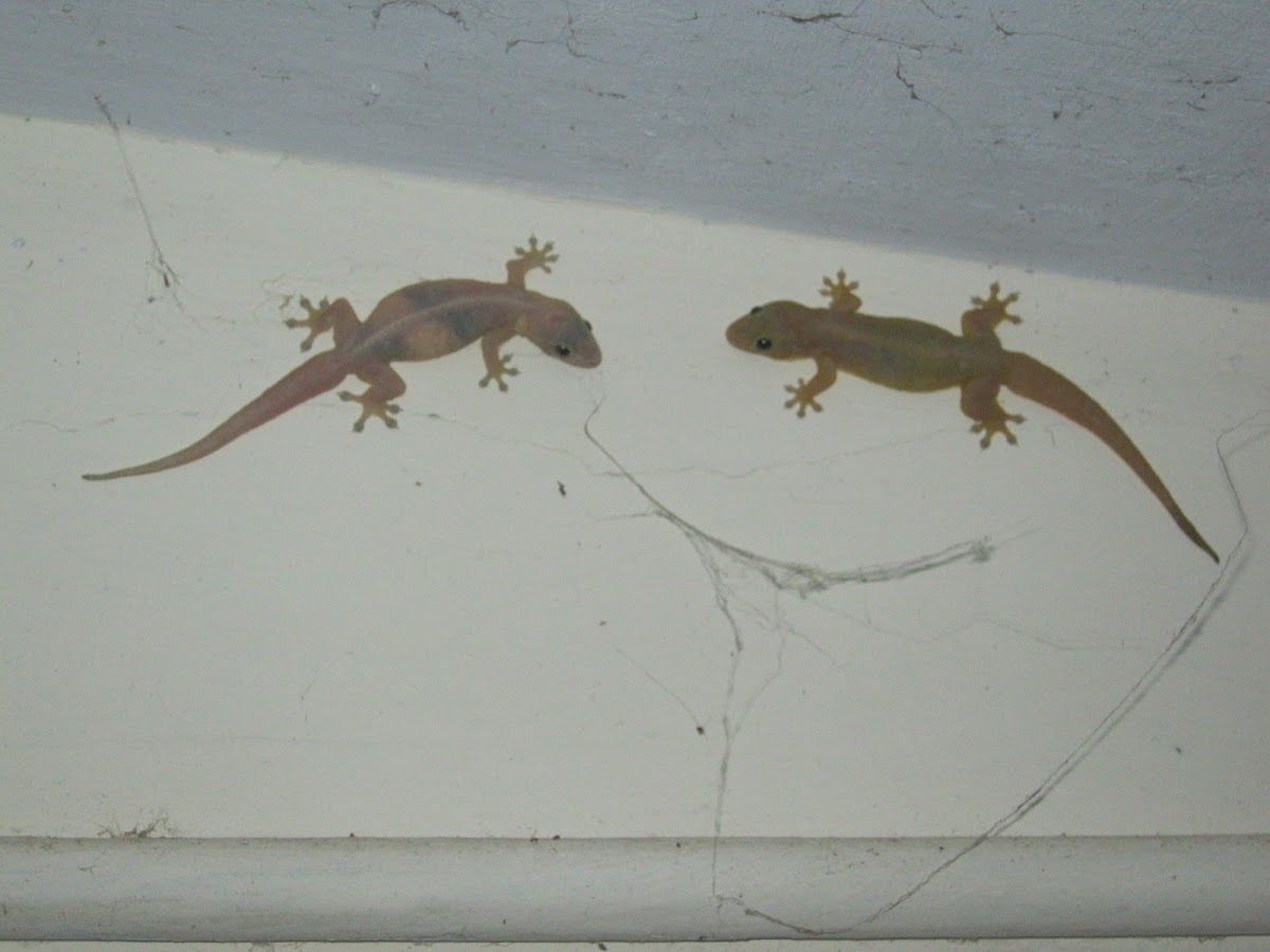 House lizard/gecko