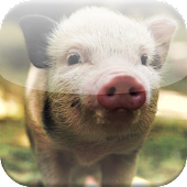 Micro Pig Wallpapers HD