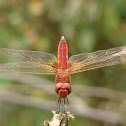 Red-veined darter - Male