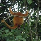 non-melanistic howler monkey