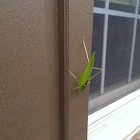 Grasshopper (Short winged green)