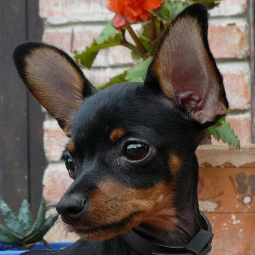 Toy Terrier Wallpapers