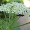 Flower Long-horn Beetle