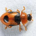 Snow Lady Beetle