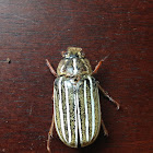Ten-lined Giant Chafer