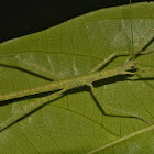 Stick Insect, Phasmid - Nymph