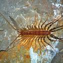 House centipede - Strašník dalmatský