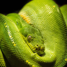 Green tree snake by Charlotte Hellings - Animals Reptiles ( wild, snake, green,  )