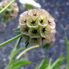 Pin Cushion Flower