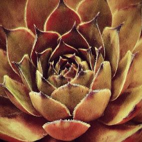 Dark Orange Guardians in my Garden by Nat Bolfan-Stosic - Flowers Single Flower ( orange, layers, guardians, dark, garden )