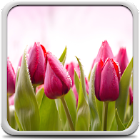 Tulips Live Wallpaper