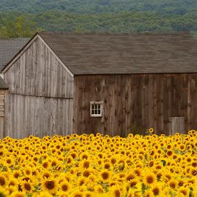 by Olga Gerik - Flowers Tree Blossoms ( barn, sunflowers, yellow,  )
