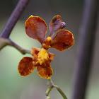 Cyrtochilum orchid
