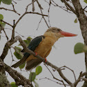 Stork - billed Kingfisher