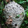 Bald Face Hornet Nest