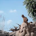 Suricato del Kalahari