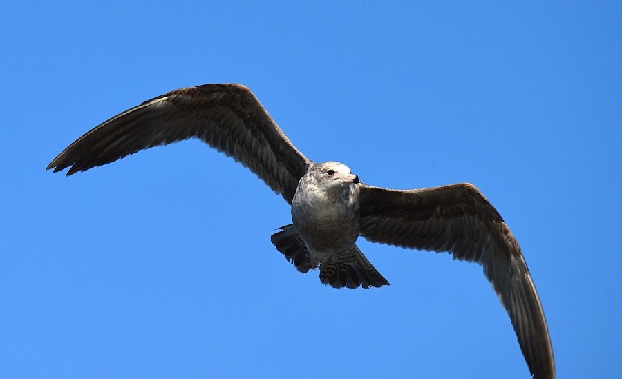 Checking It Out by Ed Hanson - Animals Birds ( gull, sky, nature, blue, in-flight )