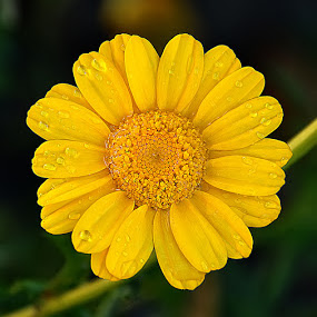 by Saptarshi Datta - Flowers Single Flower ( nature, droplet, yellow, flower,  )