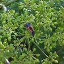 Larvae lady bug