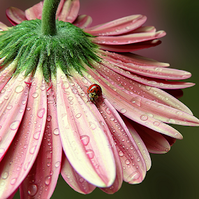 Unexpected guest by Biljana Nikolic - Flowers Single Flower ( water drops, macro photography, nice, beauty in nature, beauty, gerbera, macro, nature, fresh, pink, freshness, interesting, ladybug )