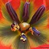 Red Cretan Tulip