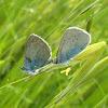 Green-underside Blue / Kozličev plavac ♂ ♀