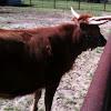 Texas Longhorn Calf