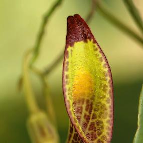 Dutchman's Pipe by Siggy In Costa Rica - Flowers Flowers in the Wild ( wild, strange, vine, unusual, flower,  )