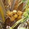Dwarf yellow coconut