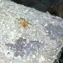 Slater spider